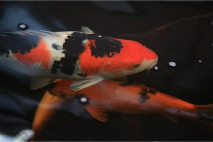 Big orange and white Japanese koi carp fish